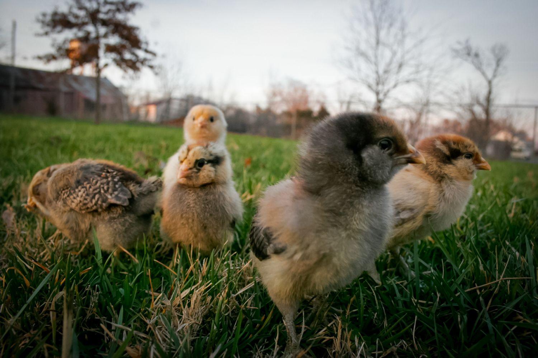 Molly, Daisy, Penelope, Octavia, Penny (10 days old)