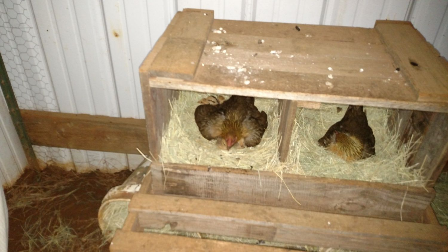 Momma hen in left with 7 babies. Hen on right has been sitting since March 8th. She is on 6 eggs total. 4 are too old to hatch I think, we'll see. These are first time hens. Momma with babies has set a good example.