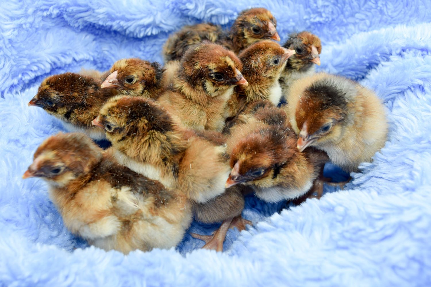 Blue Laced Red Wyandotte chicks