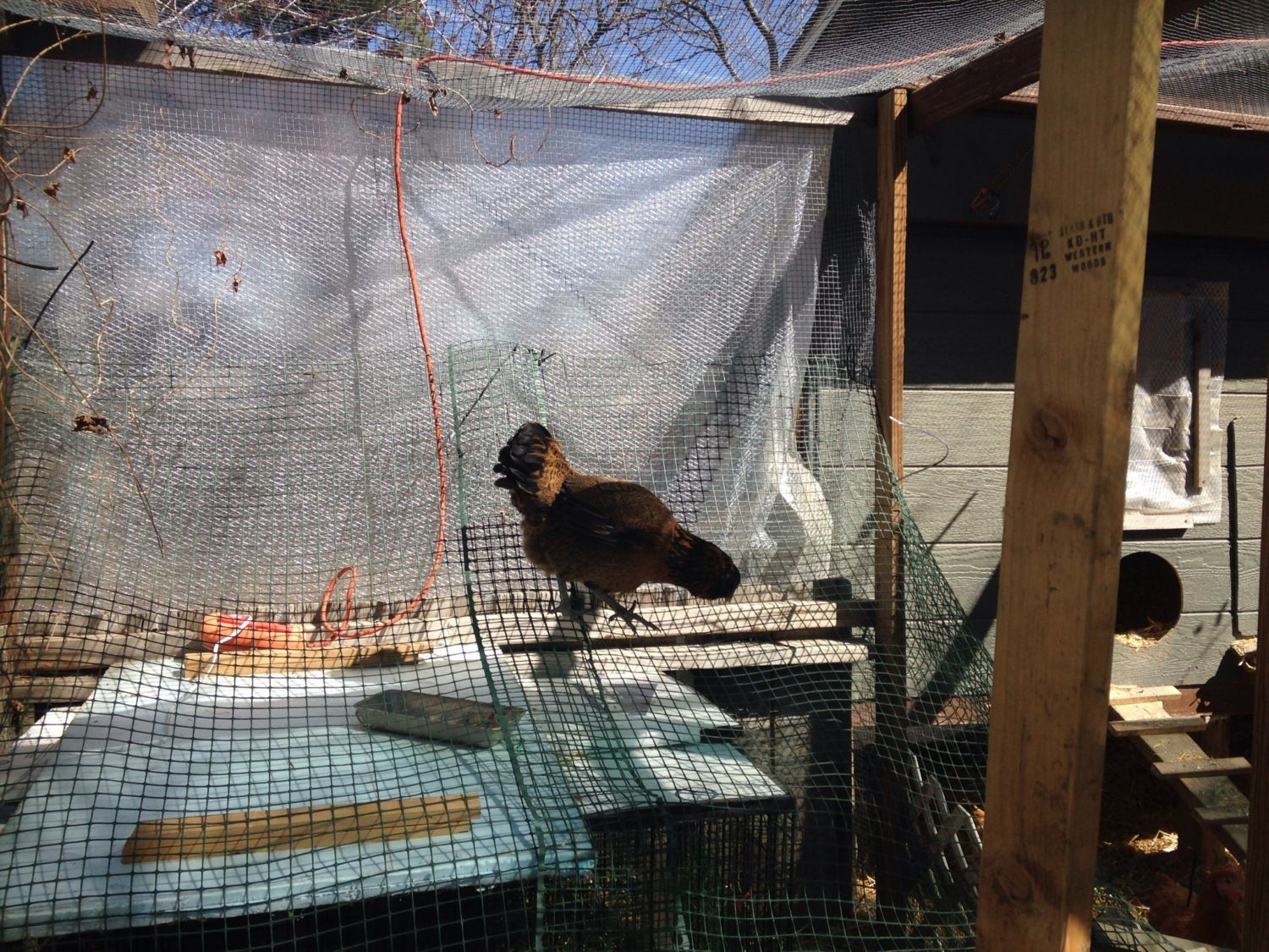 One of our hens trying to get in the brooder area...