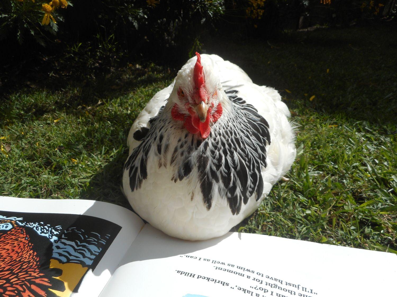 chooks reading books photography backyard chickens