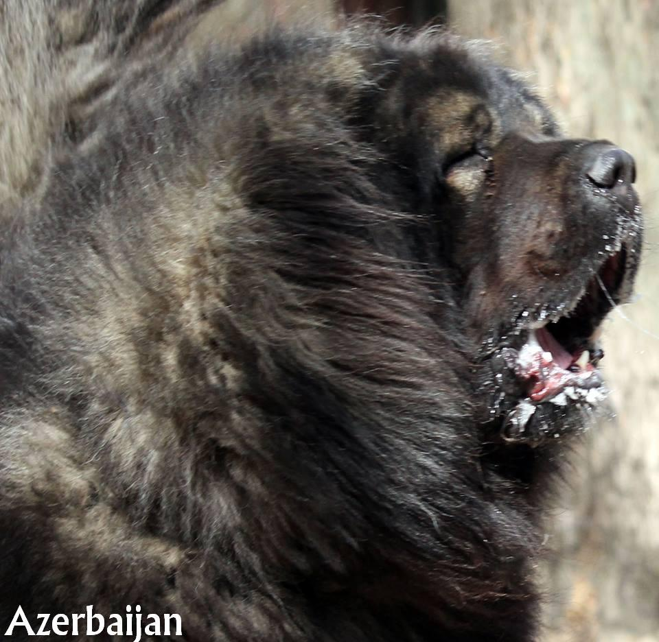 Caucasian Shepherd Dog Aboriginal dogs of Azerbaijan Dog breeds from Azerbaijan Azerbaijan Sheep Dog Azerbaijan dag iti