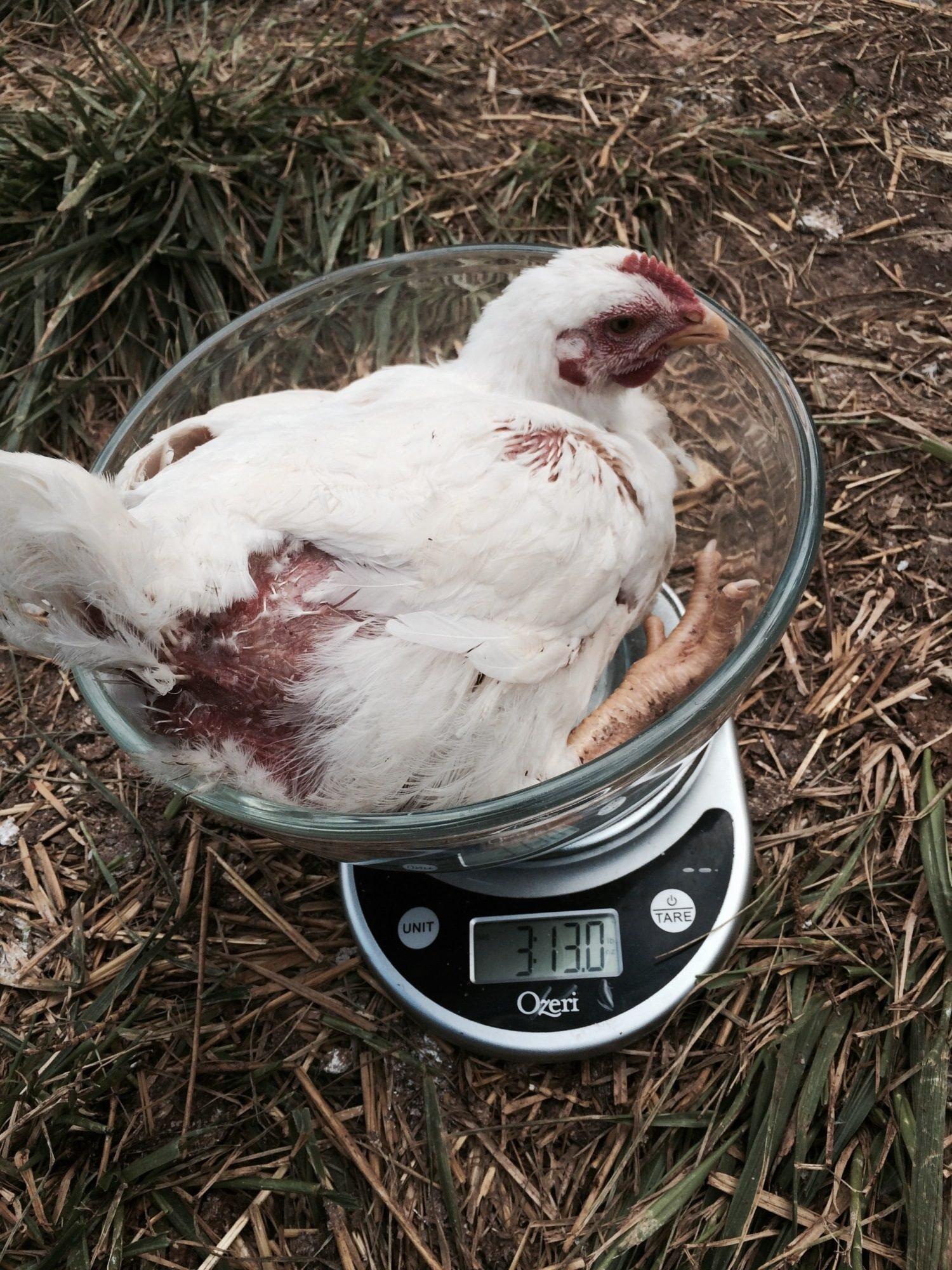 Cornish x journal page 4 backyard chickens img nvjuhfo Image collections