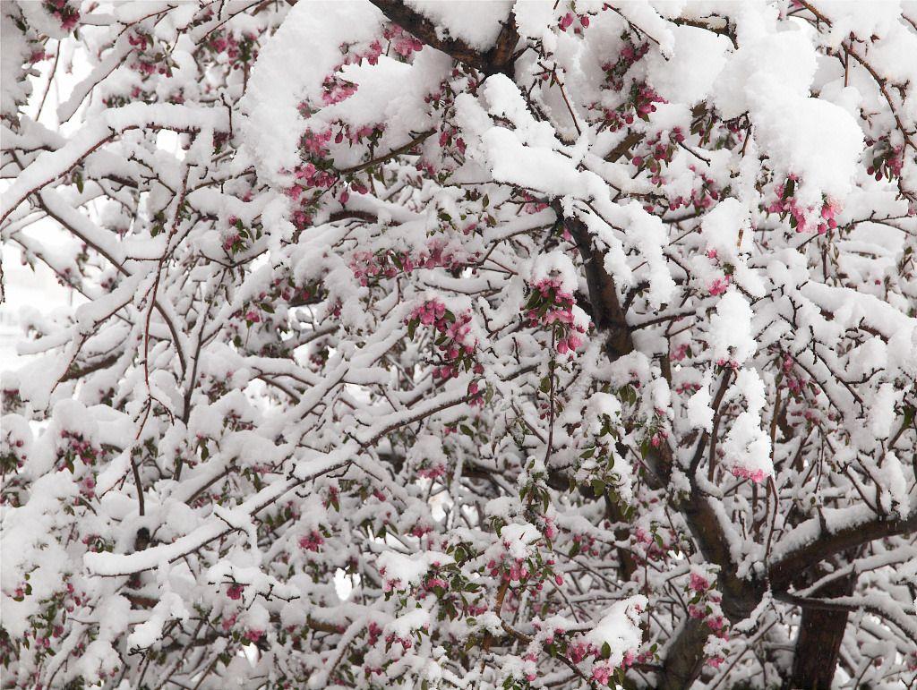 Snow on crabapple tree 4/26/2016