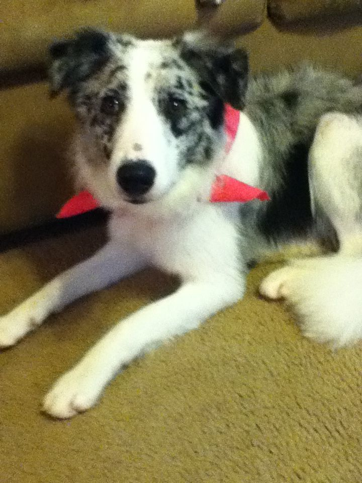 Shelby my border collie Aussie