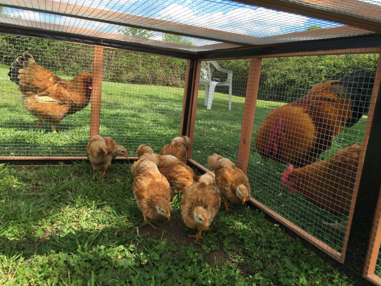 3 parents & their 4 week old chicks