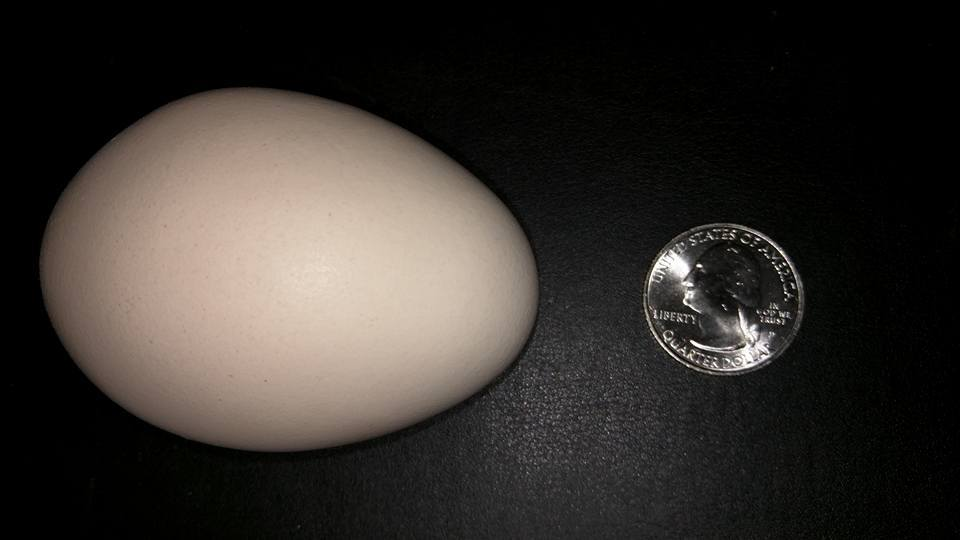 "83 Gram egg, a new record from Rosie ""The Machine"", our wonderful sex link, sweetest lady ever too. Loves to come in the house with us."