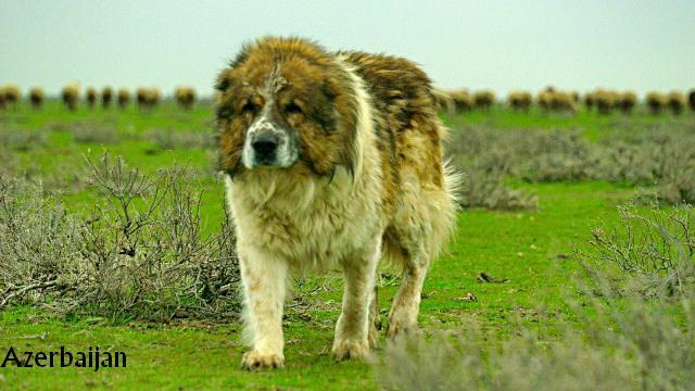 Azerbaijan dag iti gafgaz coban iti caucasian dog