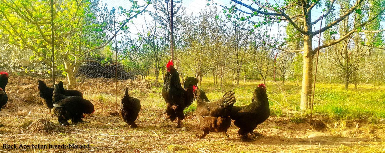 Azerbaijan breed black Azerbaijan marand