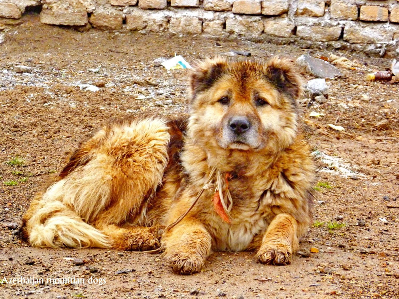 Azerbaijani Shepherd Dog