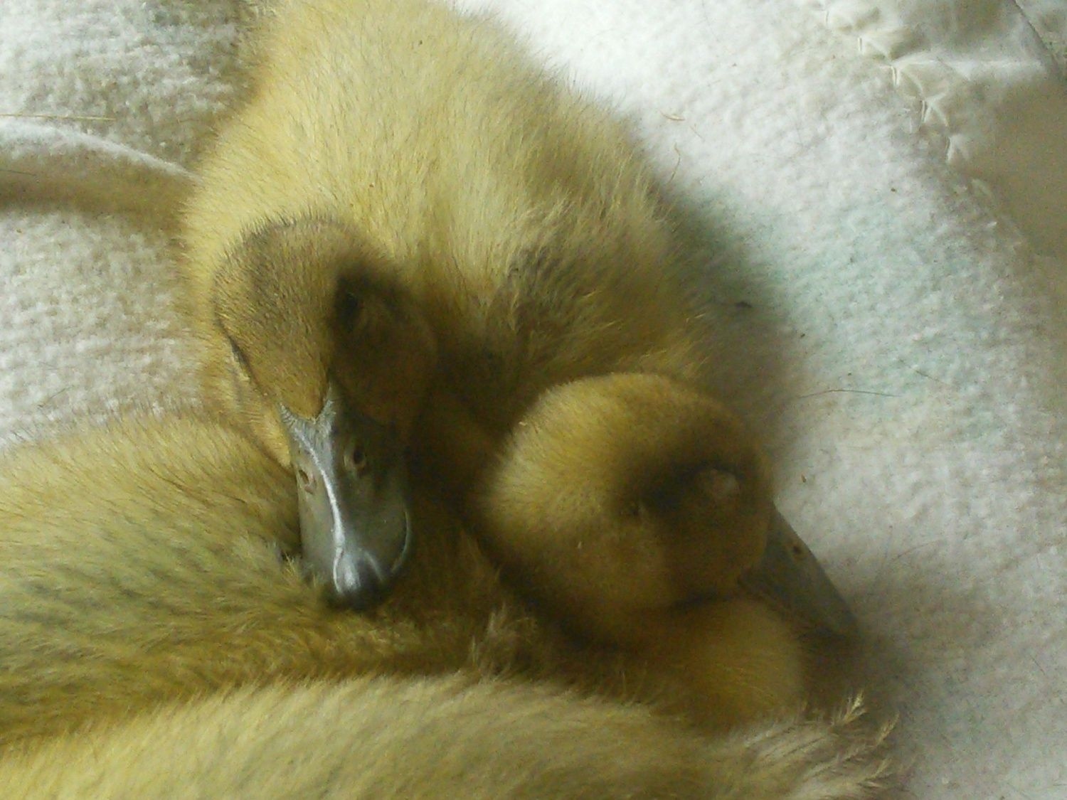 Duckling breed pictures? | BackYard Chickens