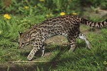 File source: http://commons.wikimedia.org/wiki/File:Leopardus_tigrinus_-_Parc_des_F%C3%A9lins.jpg