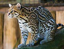 File source: https://commons.wikimedia.org/wiki/File:Ocelot_(Jaguatirica)_Zoo_Itatiba.jpg