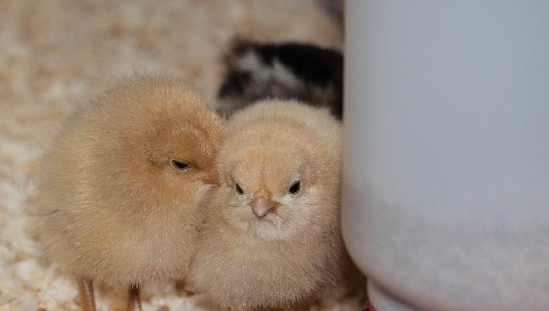 Daisy and Fleur. Buff Orpingtons.
