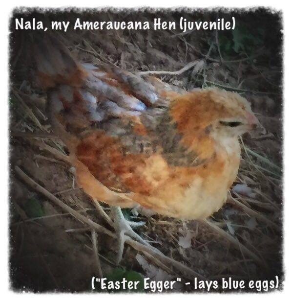 Nala, my juvenile Ameraucana hen. Definitely have some work to do with her, as she has not been handled as much as the others I bought at the auction. She should lay the blue eggs I want.