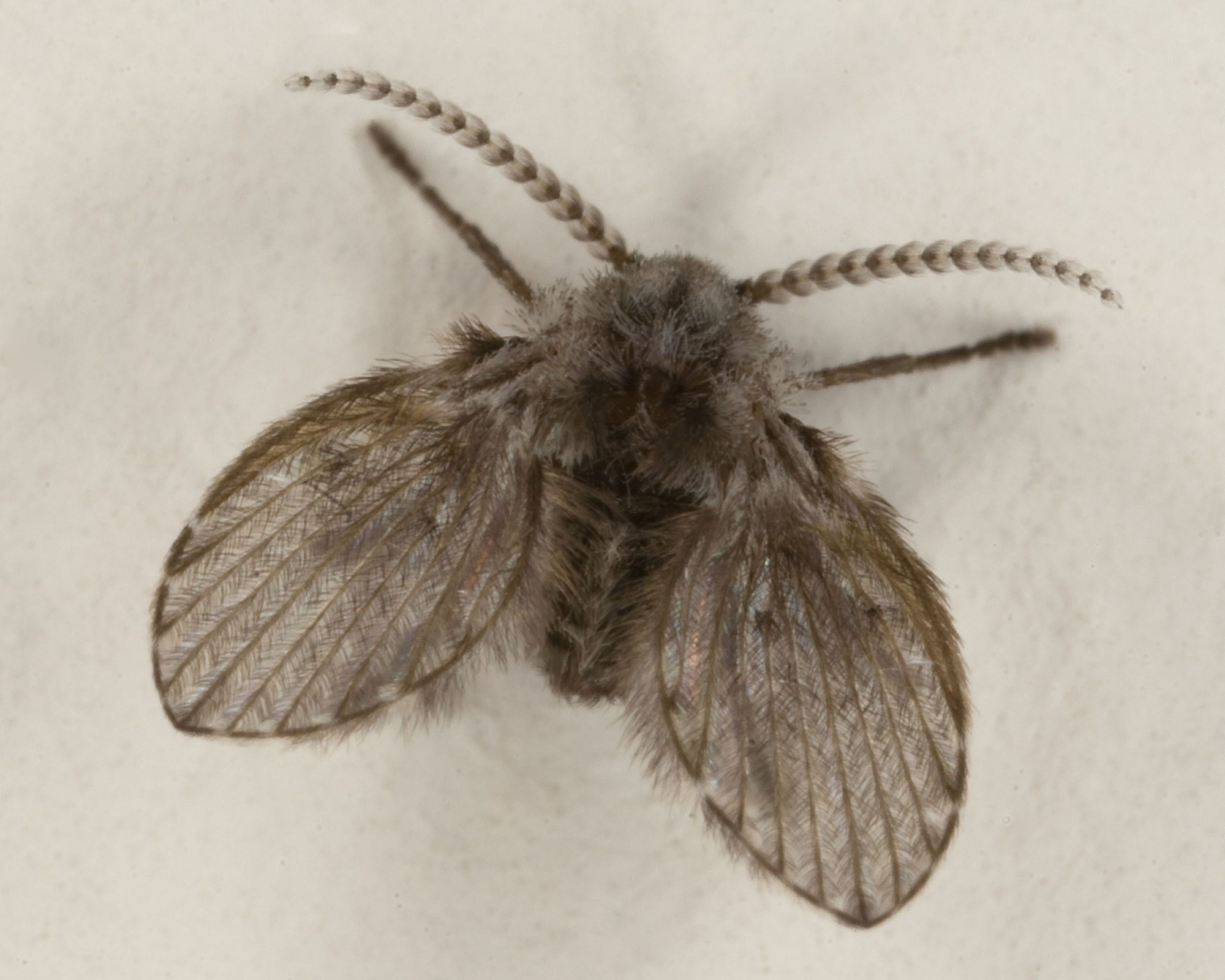 File source: http://commons.wikimedia.org/wiki/File:Clogmia_Albipunctata_or_moth_fly.jpg