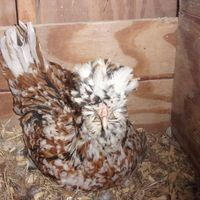 Ok, if I ever get to keep chickens...this is the one I want ...