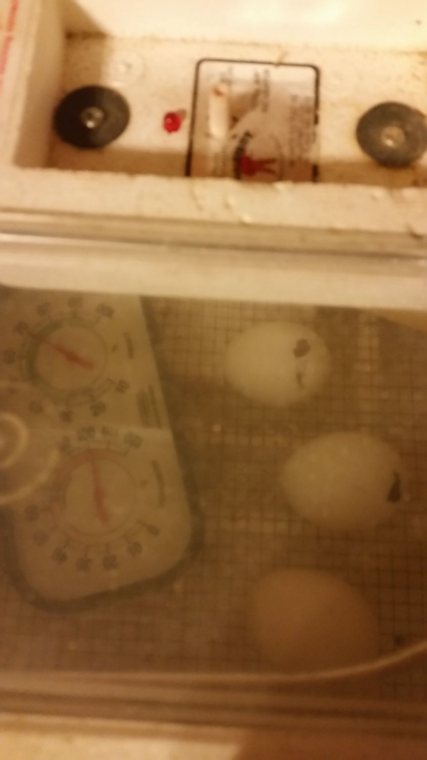 I widened the pip holes on the next two to hatch. Still Day 20. Within a couple hours, both were out of their shells.