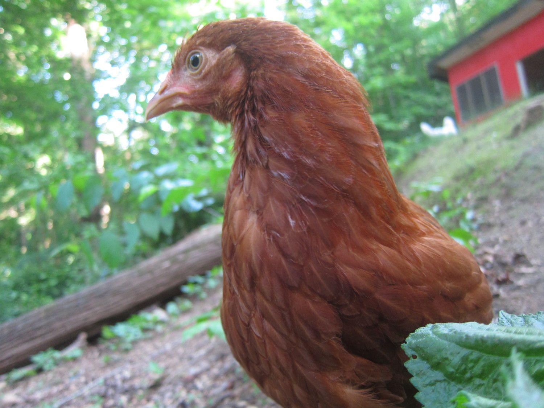chicken name contest backyard chickens