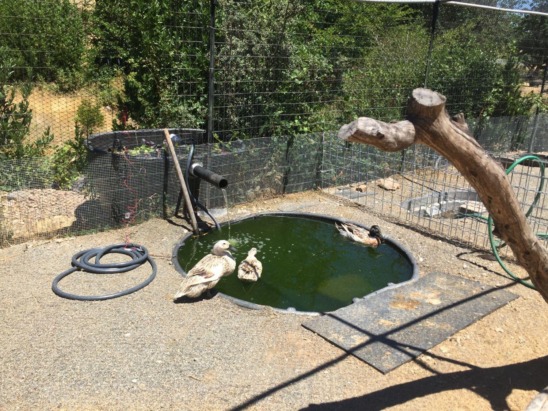 Solar powered duck pond for Backyard duck pond