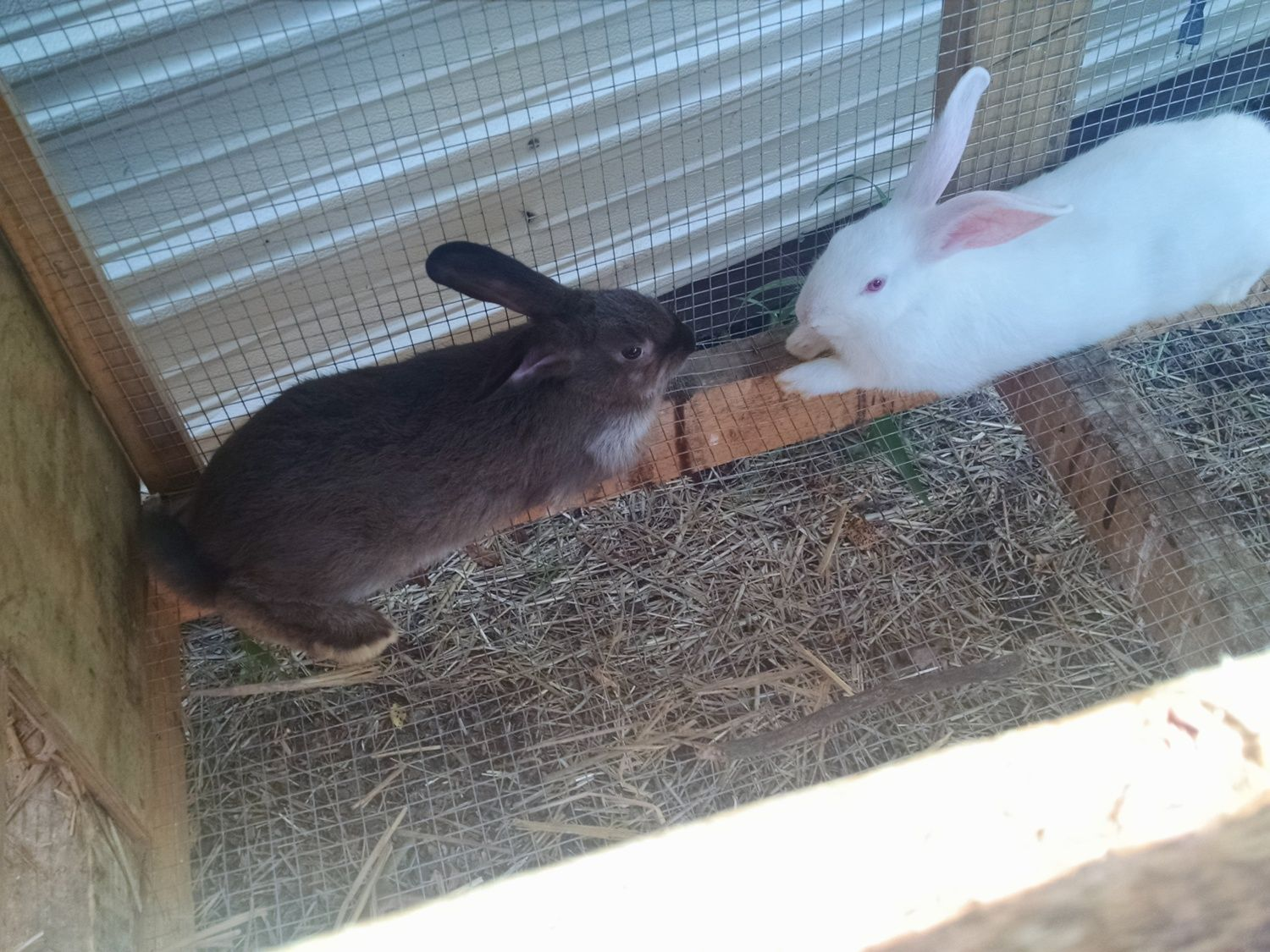 what breeds are my rabbits backyard chickens