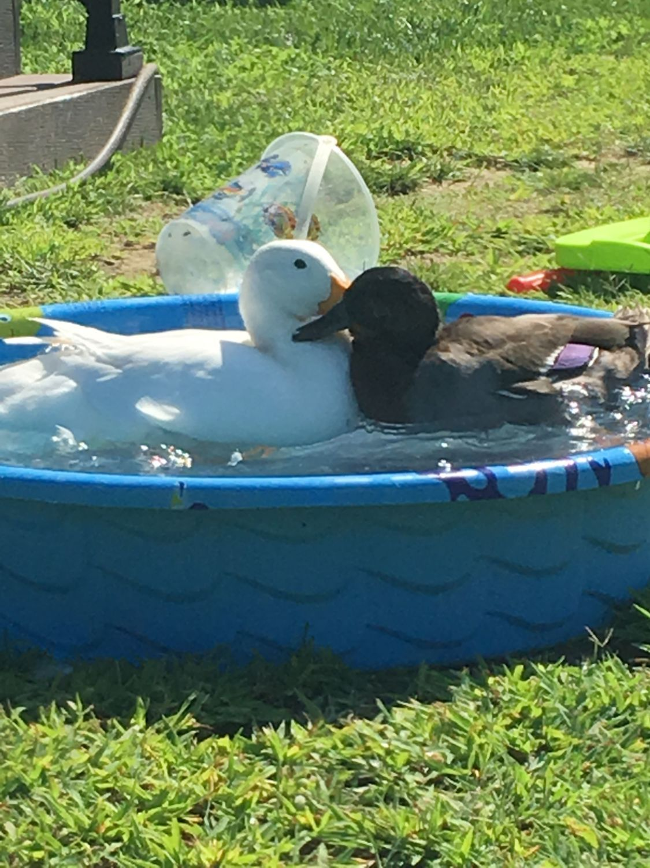HELP - Pekin duck attacks our other duck | BackYard Chickens