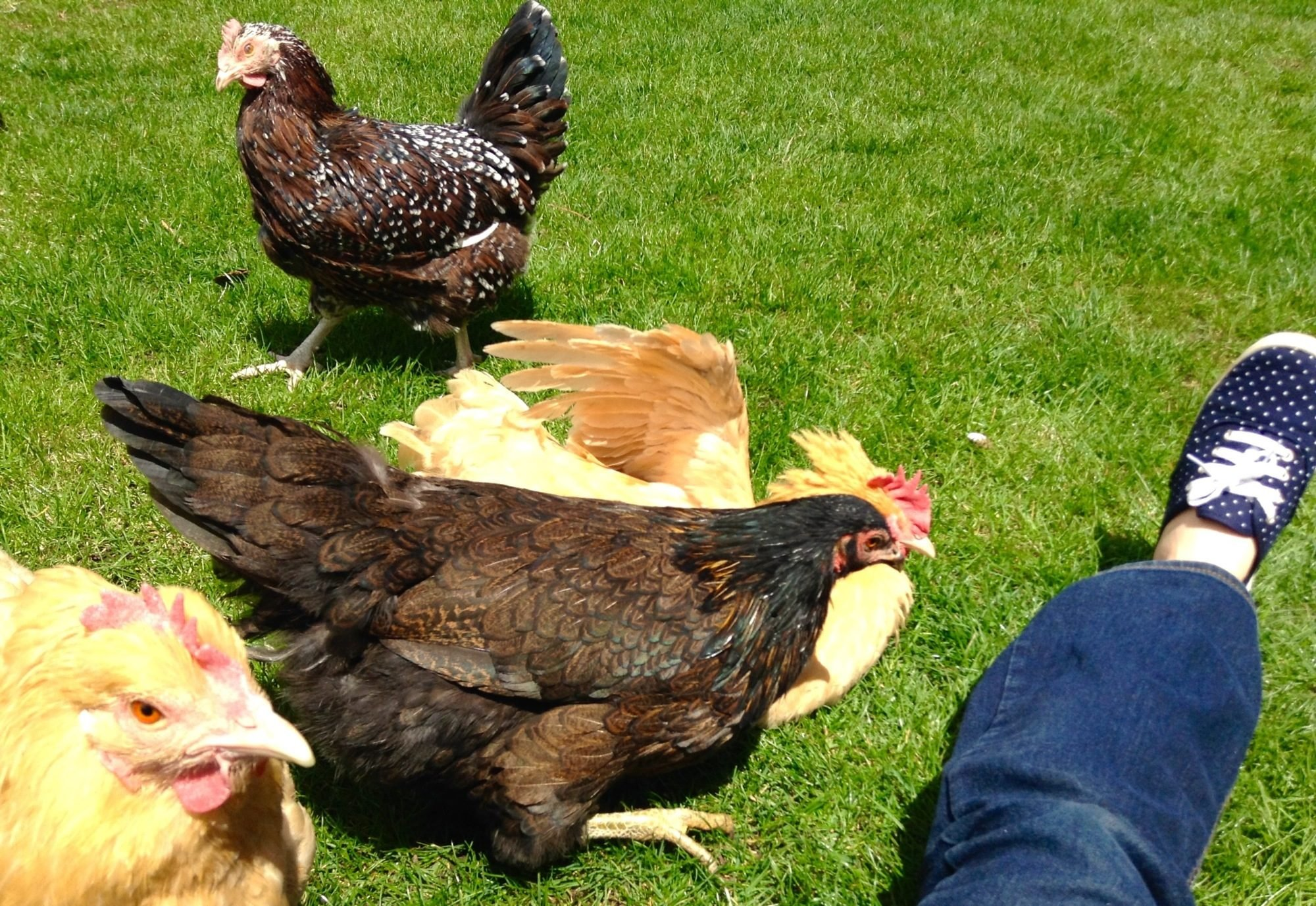 Chickens do not rush, what to do Why do not rush chickens in summer What to do 48