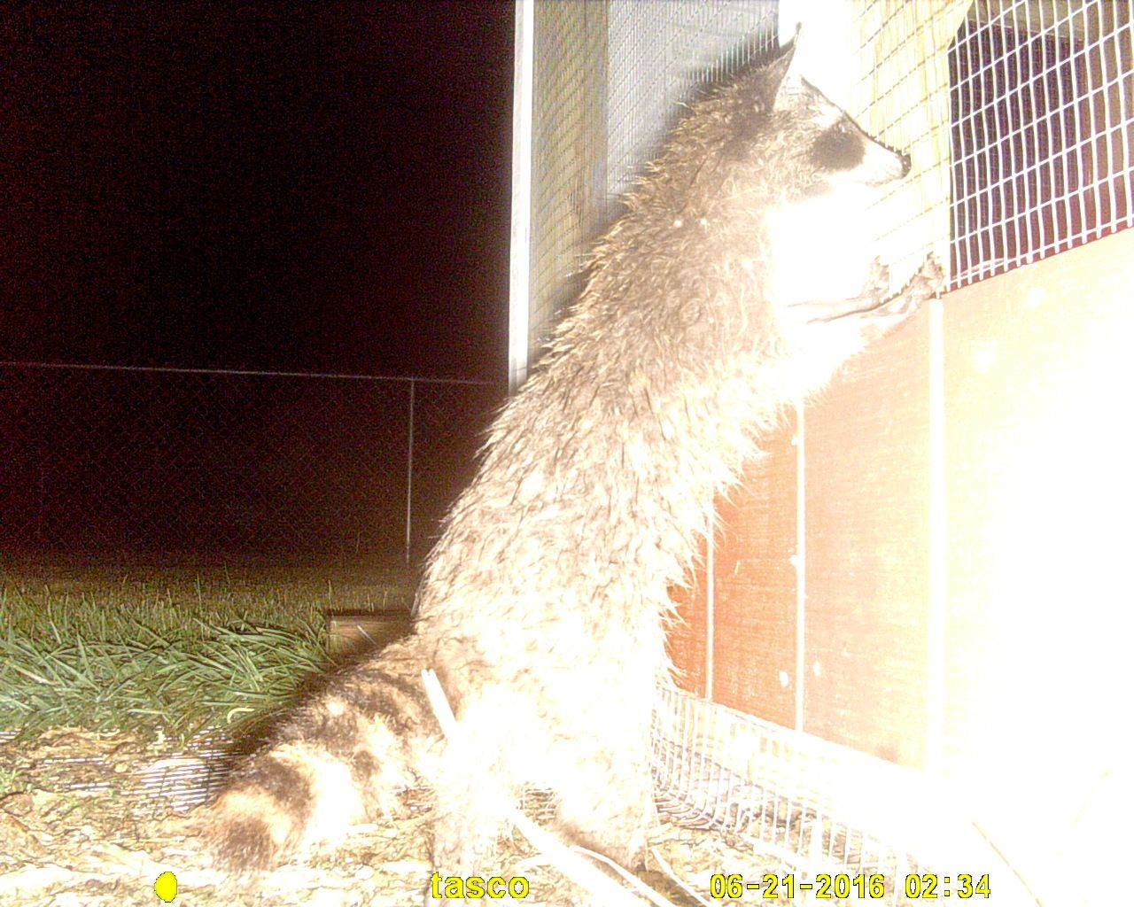 how to deal with raccoons backyard chickens