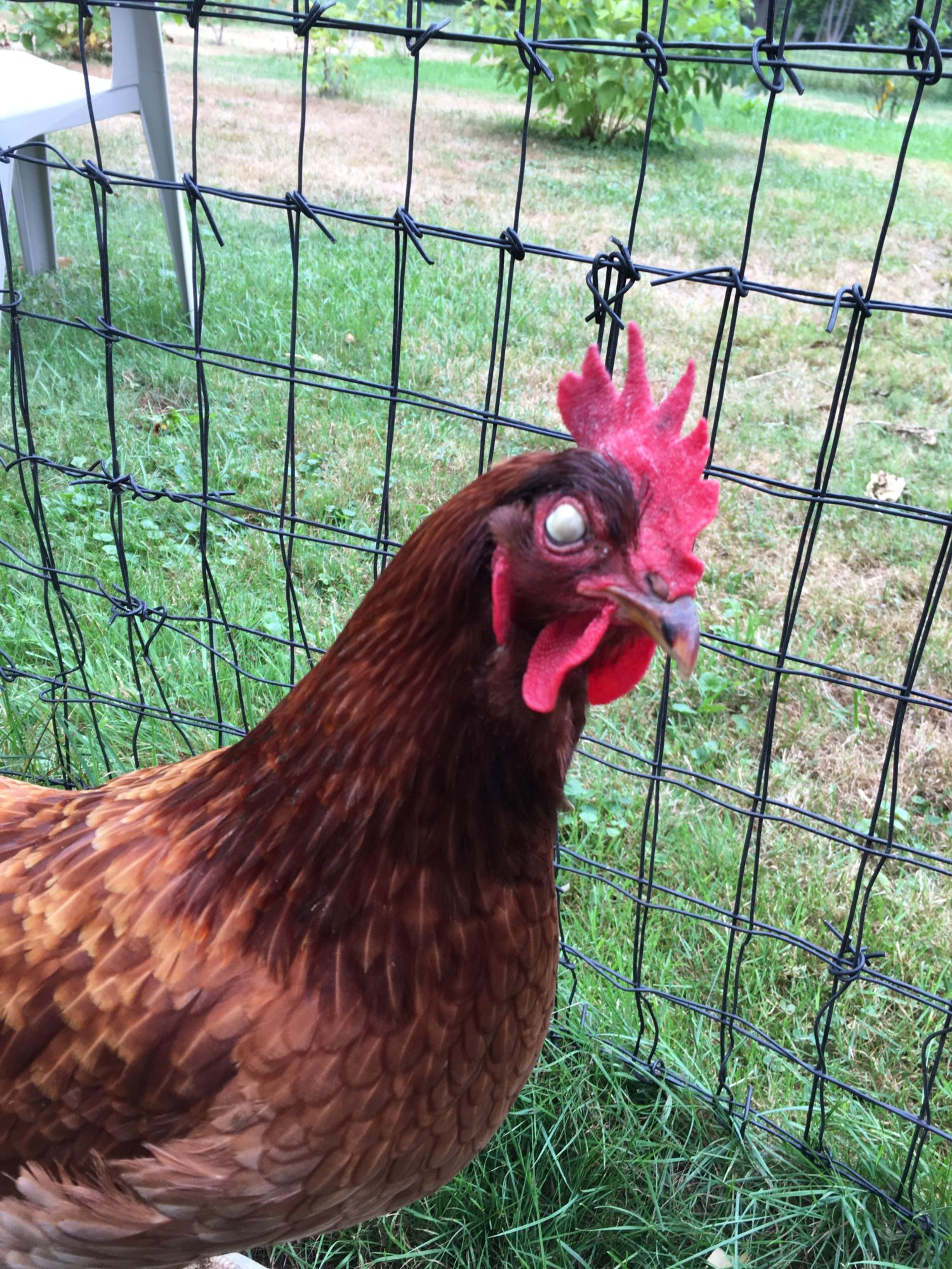 Terramycin Ointment For Chickens