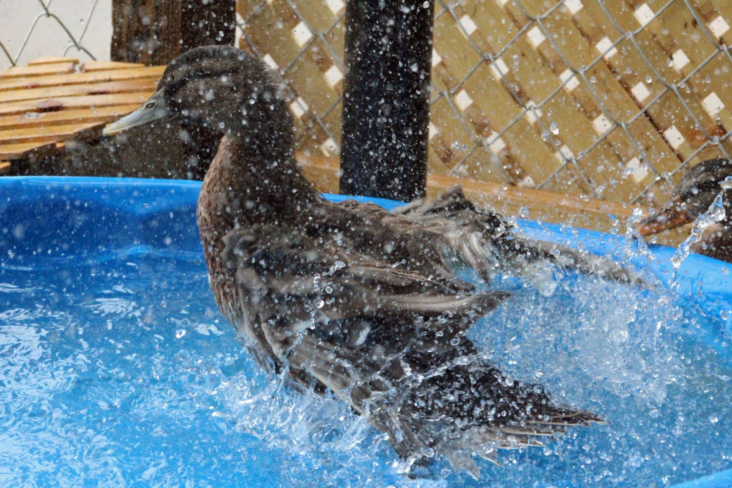 mallard pool party backyard chickens