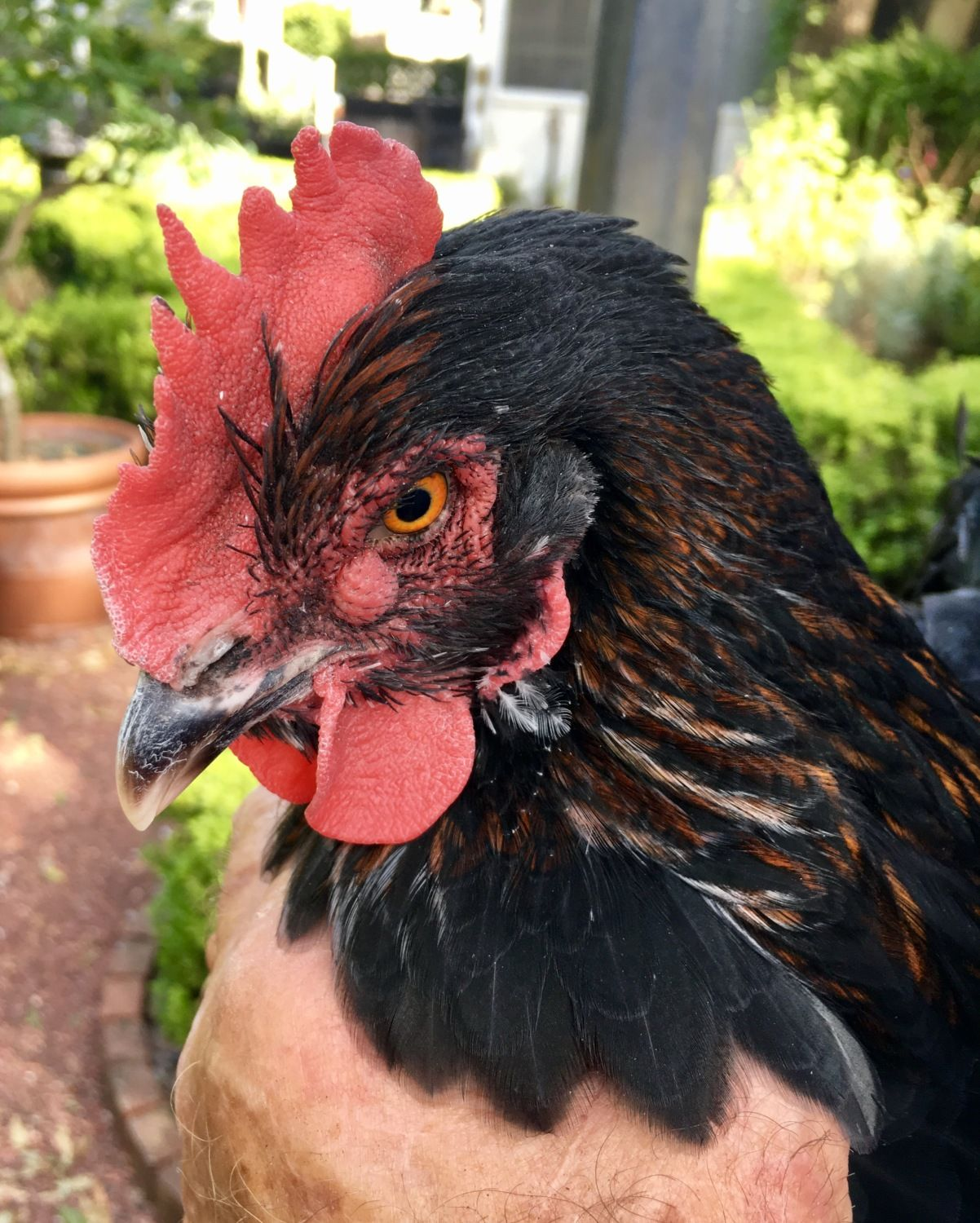 BackYard Chickens - Learn How To