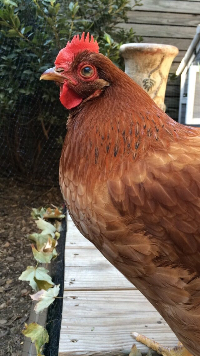 hello from georgia and question for you all backyard chickens