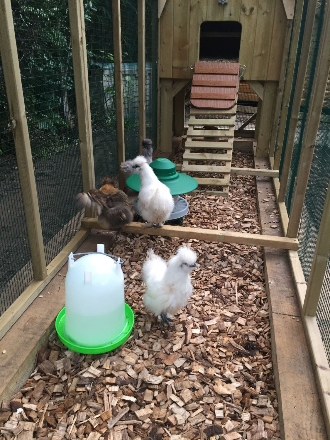 chicken coop with chickens and wood shavings