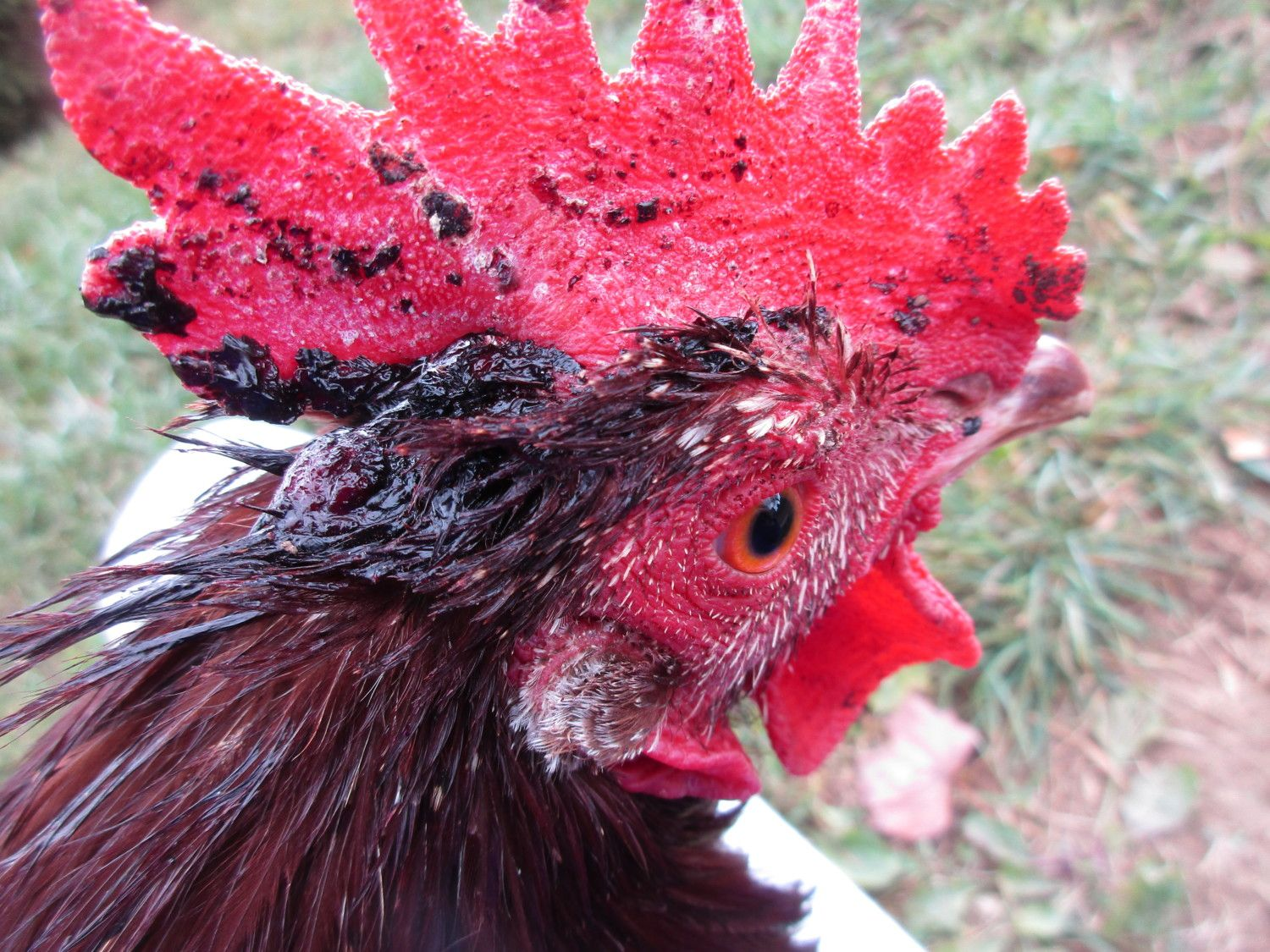 Wound Care for chickens  | BackYard Chickens