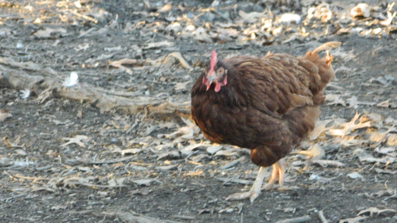 Business! Mature rhode island red hen agree