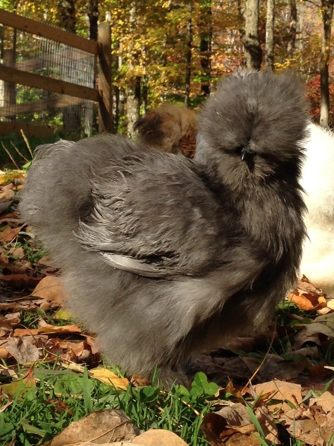 List of Silkie Breeders | Page 18 | BackYard Chickens