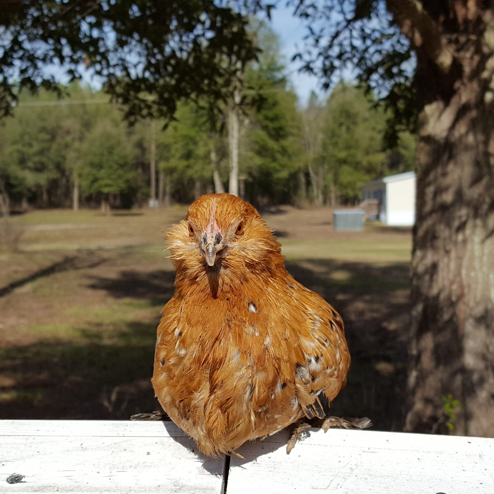 Chicken Breed Focus - D'Uccle Bantams