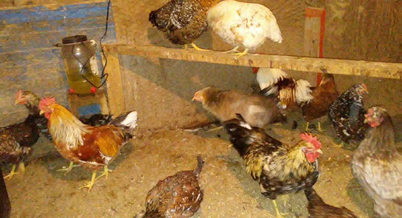 Swedish flower hens and isabel leghorn hatching eggs