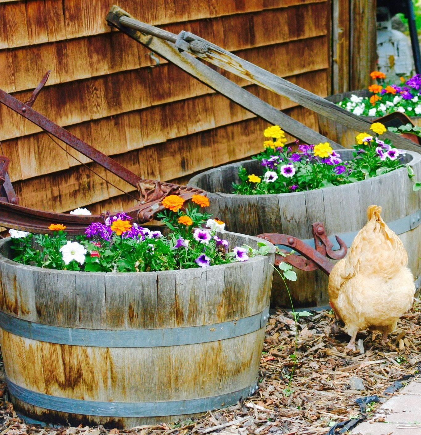 Lessons I've Learned After Five Years Of Chicken Raising