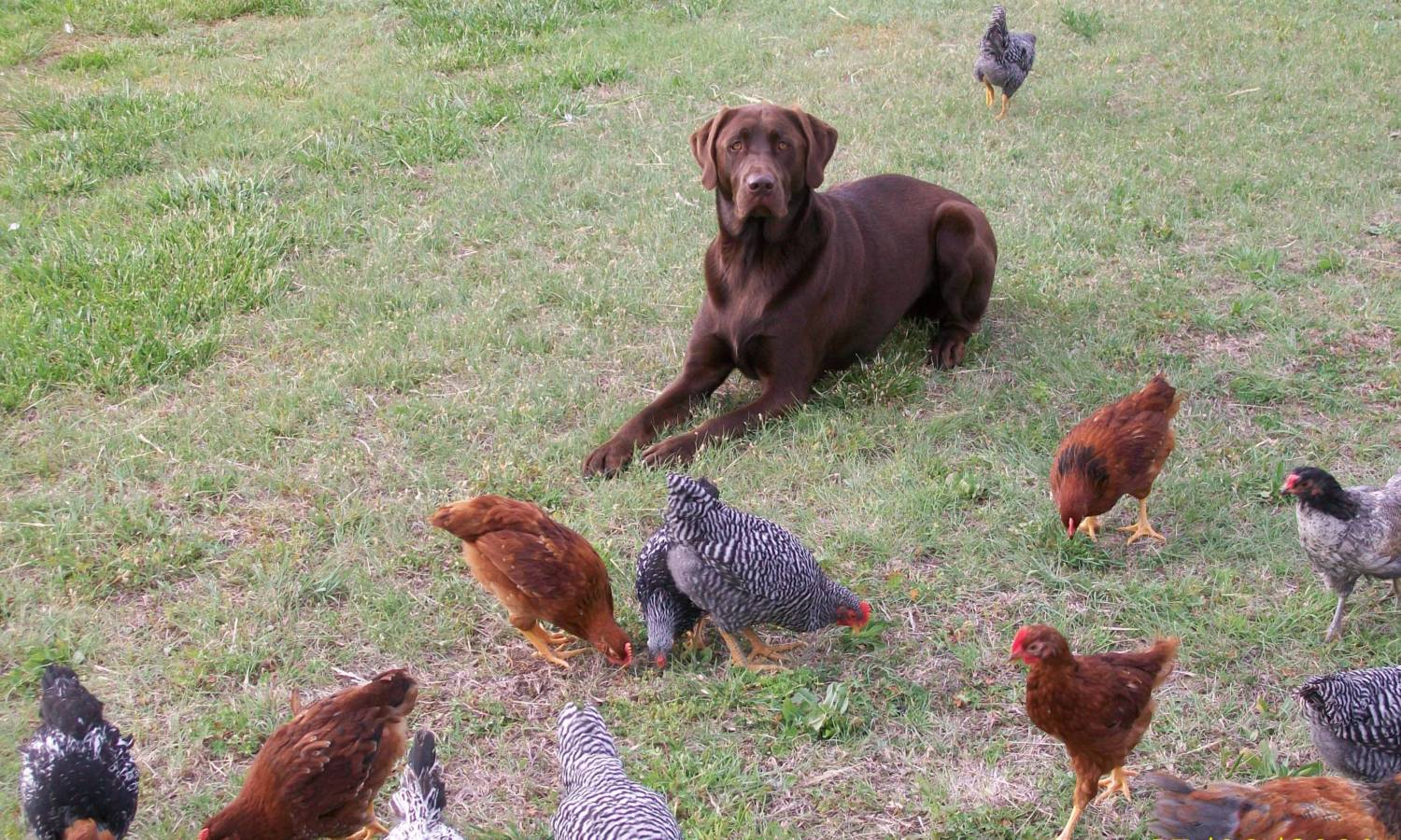 byc member interview redsoxs backyard chickens