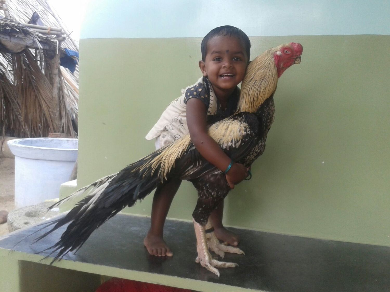 Parrot Beak Aseel (PBA) | BackYard Chickens