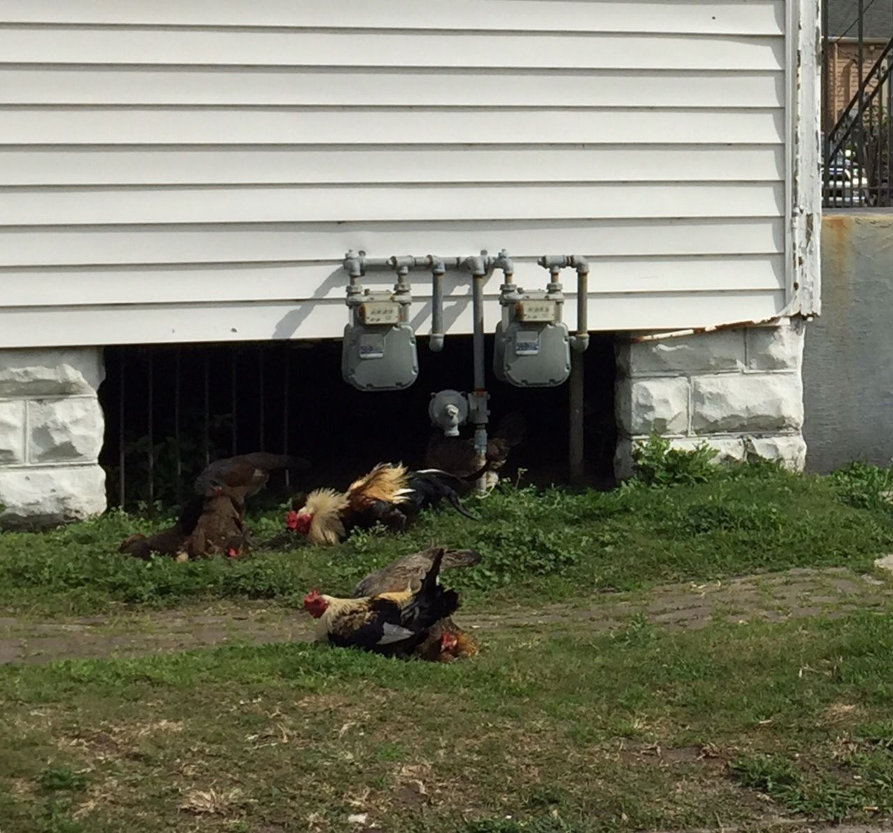 what sort of rooster is this new orleans backyard chickens