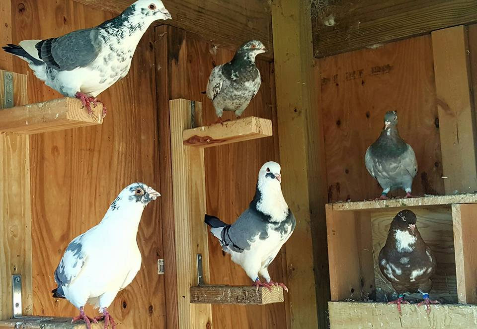 Hubbell Pigeons | BackYard Chickens