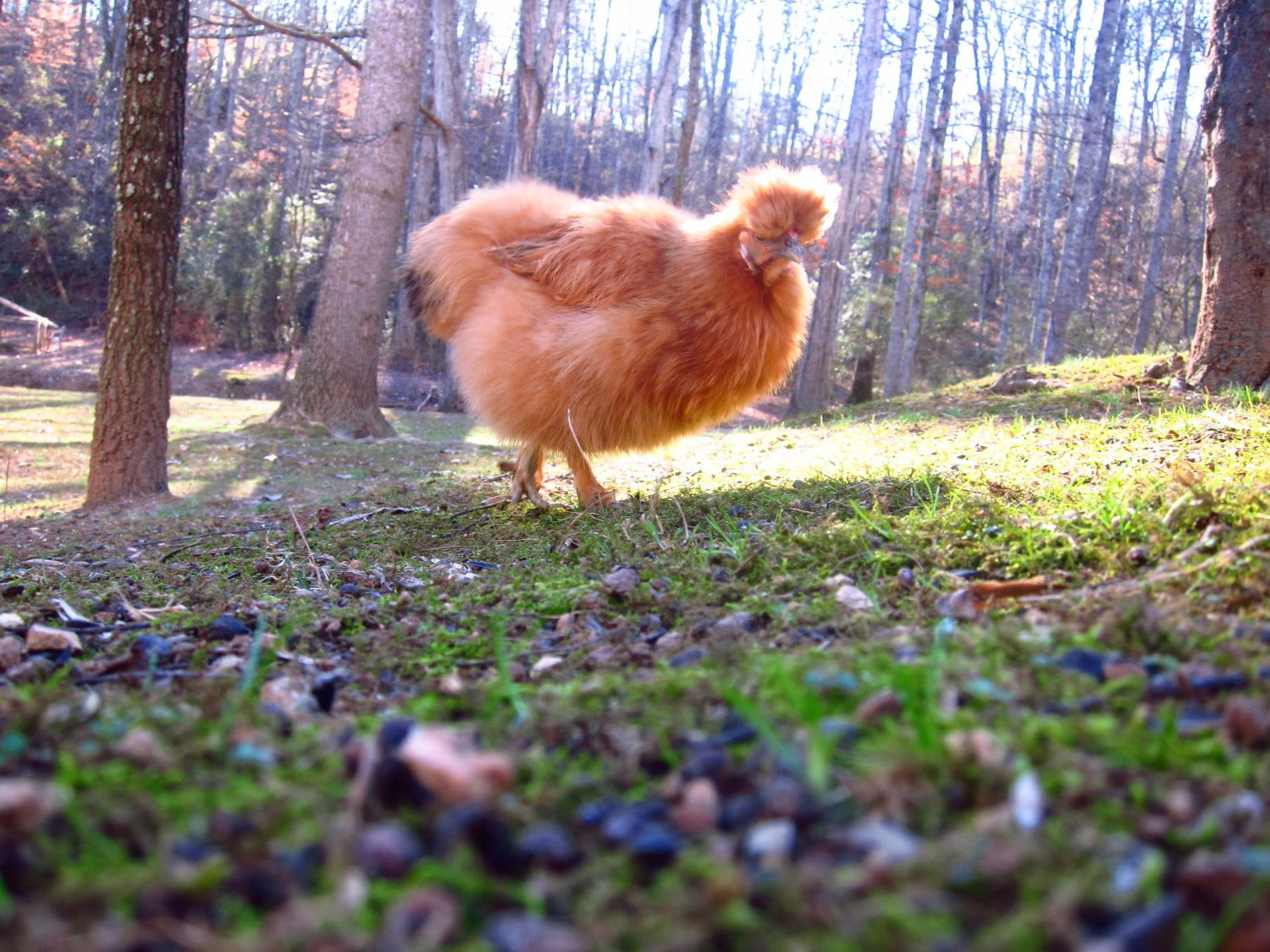 best pictures of 2017 backyard chickens community