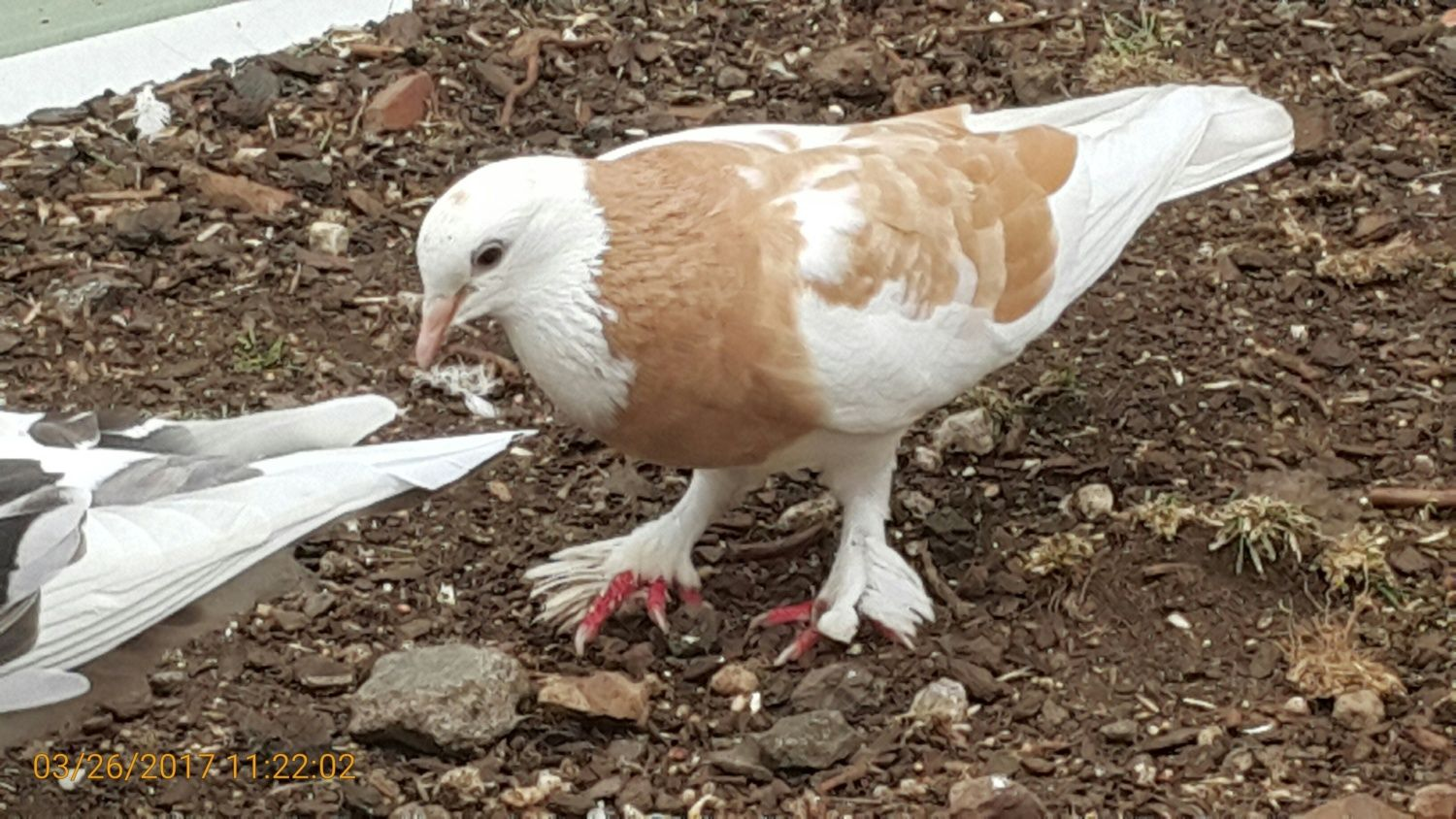 please help to identify pigeon breed backyard chickens