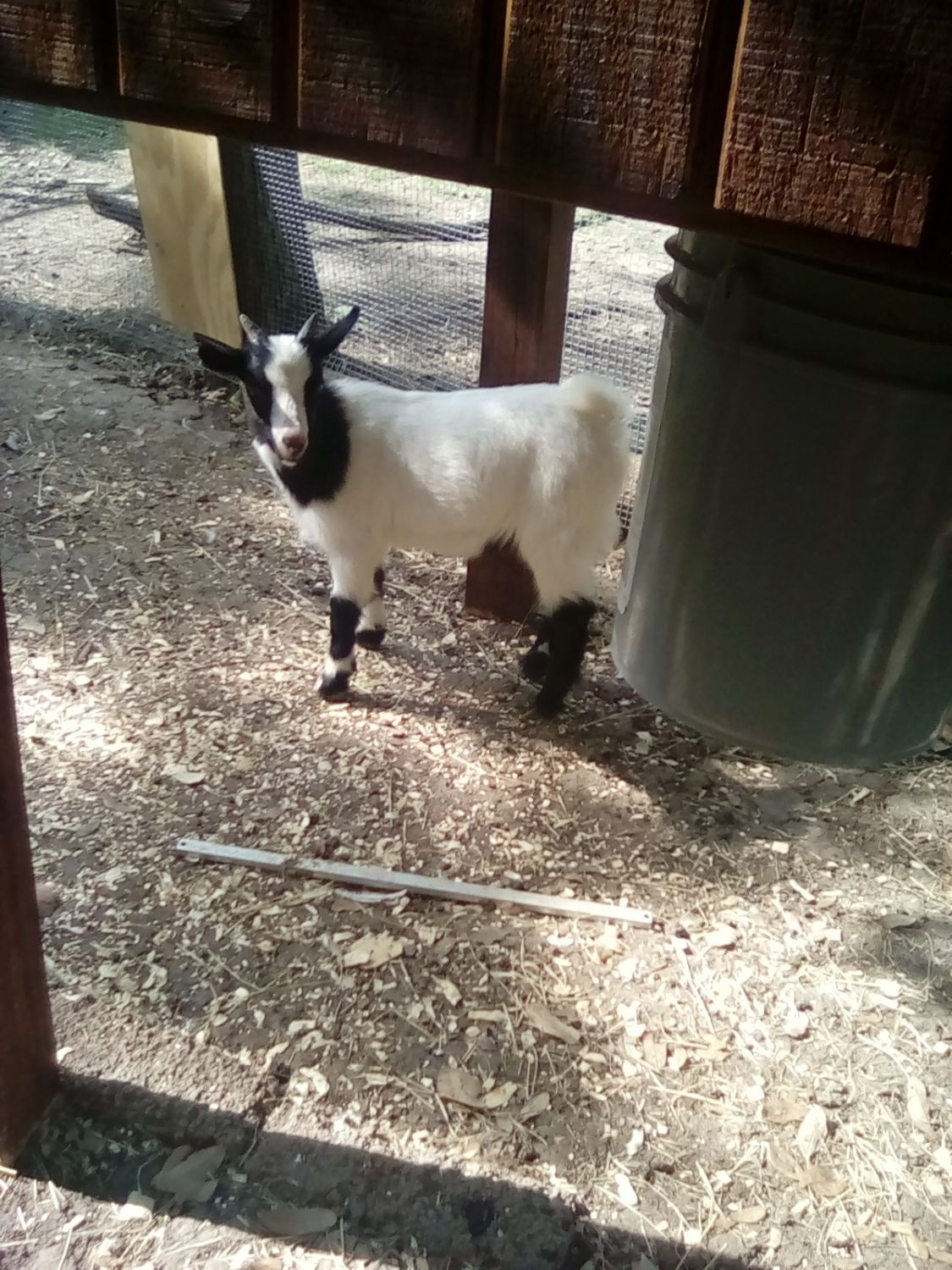 How To Tame Goat?