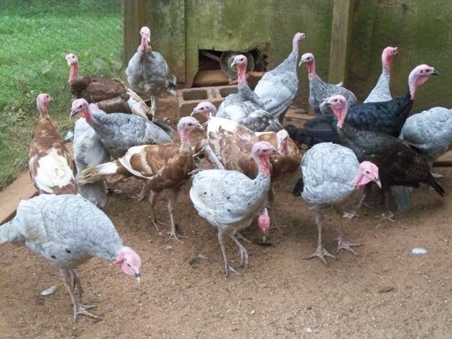 http://www.backyardchickens.com/forum/uploads/100167_100_1983.jpg