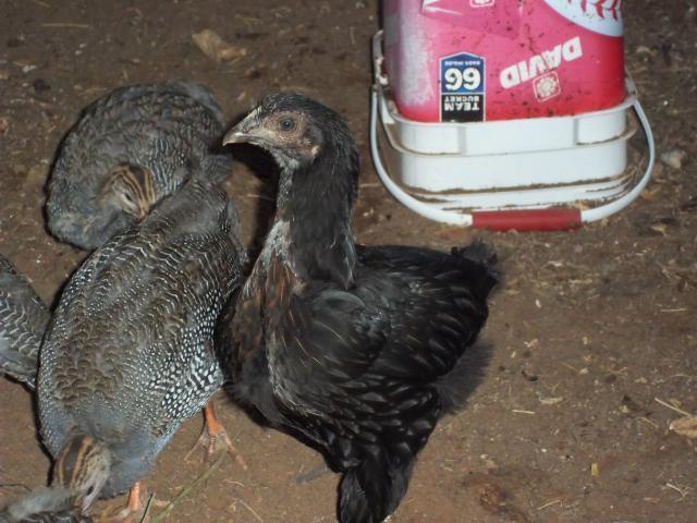 100505_chickens_009.jpg