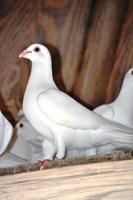 Jansen White Homing Pigeons | BackYard Chickens