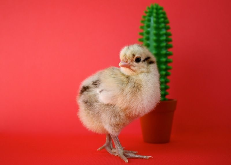 http://www.backyardchickens.com/forum/uploads/102296_img_2390.jpg